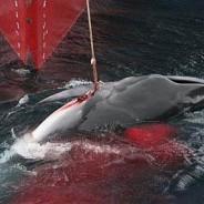 捕鯨敗訴で日本政府は今後も国際ルール歪曲に意欲?